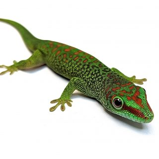 Crimson Red Giant Day Gecko